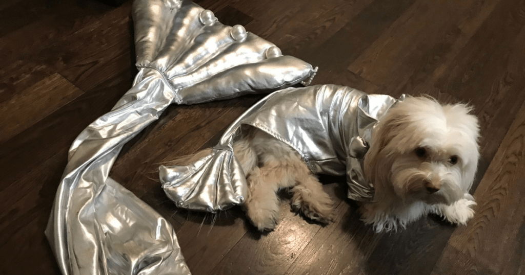 Photo of a small dog in a mermaid tail costume.